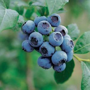 Frutos rojos, arandano azul, antiarrugas