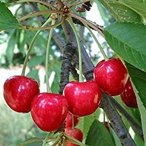 Frutos rojos, cerezas, antiarrugas