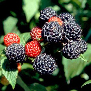 Frutos rojos, frambuesa, antiarrugas