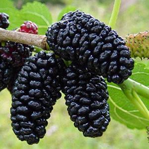 Frutos rojos. Mora negra. antiarrugas